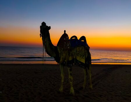 Riding Camel Silhouette with the indian ocean gujarat beach in the backdrop, taken during sunset