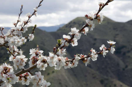 Blossoming branch of apricot tree on mountains background Stock Photo