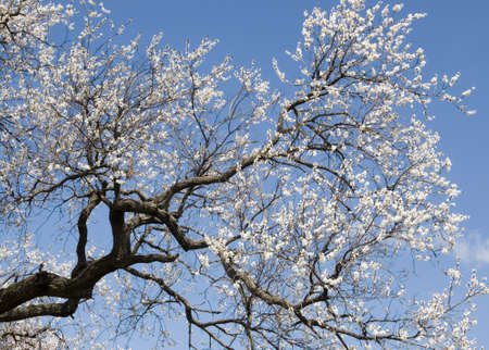 White flowers of apricot tree on sky background