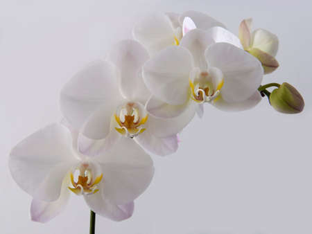 White orchids background Stock Photo