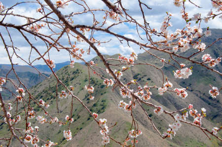 Spring in the Mountains - Blossoming branch of apricot tree on mountains background