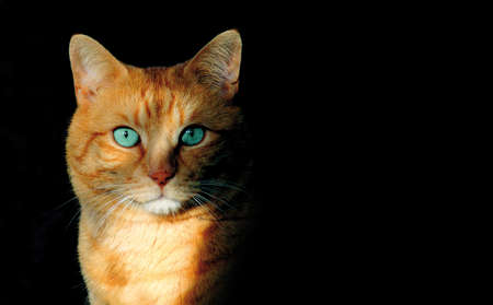 cat with turquoise eyes