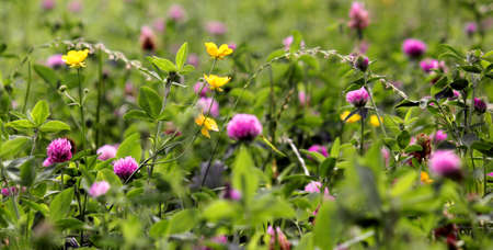trifolium: meadow flowers Stock Photo