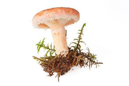 milkcap: Edible woolly milkcap mushroom, isolated on white