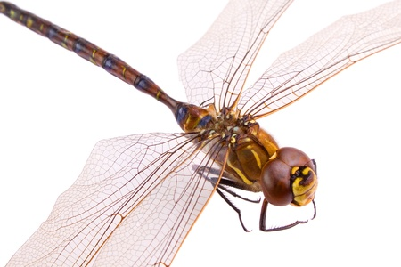 dragonfly wing: Dragonfly closeup, aeshna osiliensis