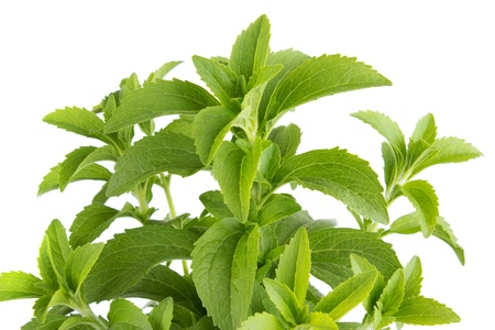 Stevia rebaudiana, Süßstoff Kraut, isoliert Standard-Bild - 14485097