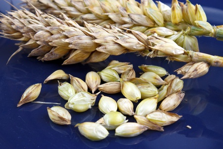 Wheat spikes and grains on blue dish Stock Photo - 14979534