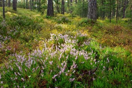 Blühende Heide Blumen pflanzen in der Natur Lizenzfreie Bilder