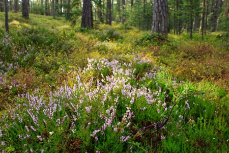Blooming heather plant flowers in nature Stock Photo