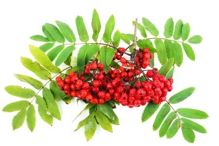 rowan tree: Bunch of rowan berries, white background