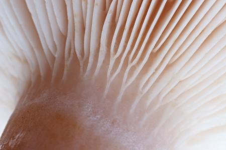 gills: Mushroom gills macro closeup Stock Photo
