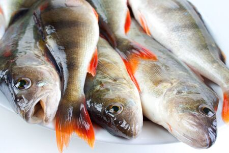 the perch: The catch of fish  european perch