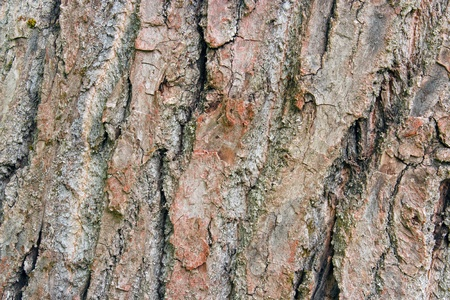 arbol alamo: �rbol de �lamo ladrido close-up