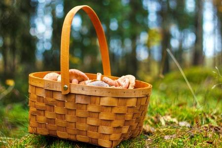mushrooming: Mushrooming basket with milk cap mushrooms