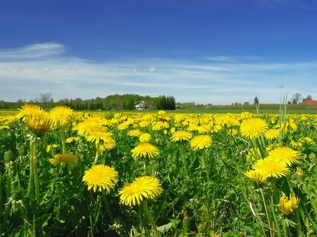 dandelion field: A field of yellow dandelions