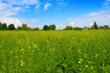 Green field with yellow rapeseed flowers