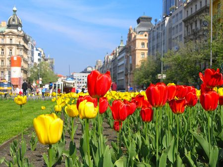 Red and yellow tulips in Prague         Stock Photo