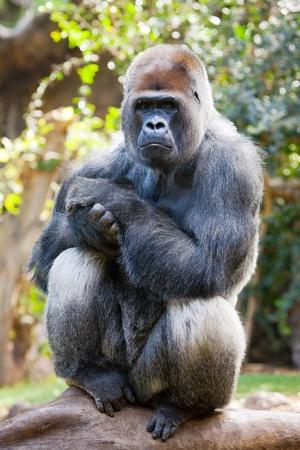 Man silverback gorilla die zich voordeed op een log