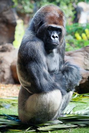 Male silverback gorilla sitting on palm leaves photo