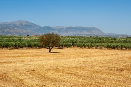 Olive plantation in the Messara Plain  Crete, Greece, Europe Stock Photo