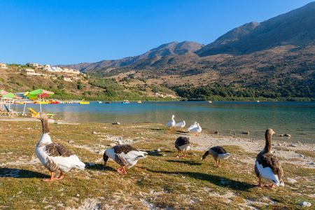 Geese on the shore Kournas lake, the only freshwater lake in Crete. Greece photo