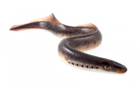 River lamprey  Stock Photo