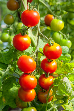 有機トマトとトマトの工場 写真素材