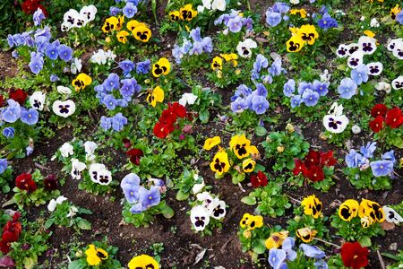 Flower bed with multicolored pansies photo