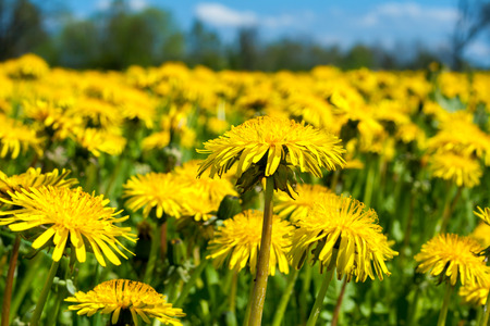 differential focus: Close up of spring dandelion field (differential focus)