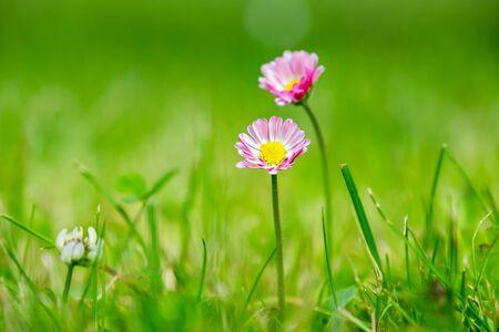 amongst: Pink Daisies flower amongst grass Stock Photo