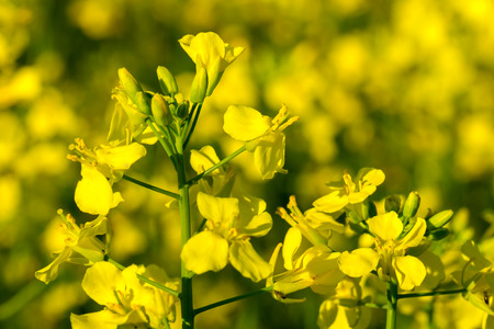 differential focus: Yellow oilseed rape flower (differential focus)