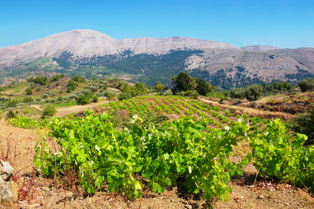 dodecanese: Growing vines in the vineyard. Rhodes, Dodecanese islands, Greece (Background out of focus)