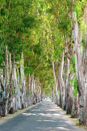 karri: View of Eucalyptus road in Kolymbia. Rhodes island, Greece, Europe