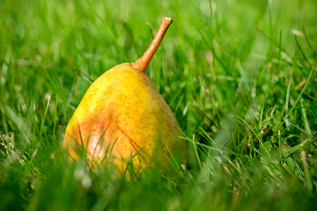 yellow stem: Ripe pear lying in the grass of a garden