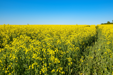church flower: Landscape with yellow flowering rapeseed field. Estonia, Europe