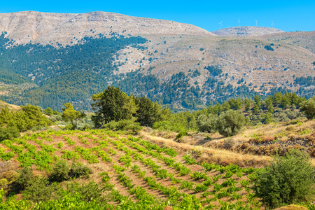 dodecanese: Growing vines in the vineyard. Rhodes, Dodecanese islands, Greece