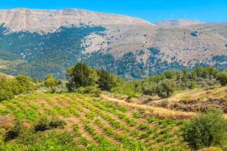 rhodes: Growing vines in the vineyard. Rhodes, Dodecanese islands, Greece