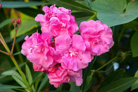 Close-up of the flowers of a pink oleander. Rhodes, Greece