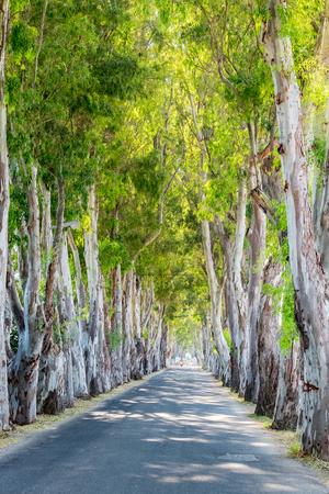 karri: View of Eucalyptus alley in Kolymbia. Rhodes island, Greece, Europe