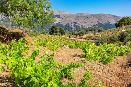 Growing vines in the vineyard. Rhodes, Dodecanese islands, Greece