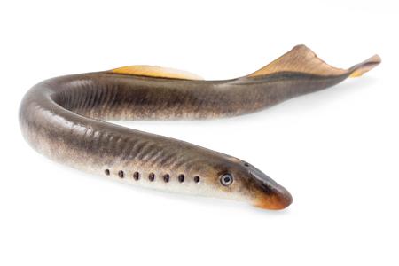 River lamprey on a white background Standard-Bild