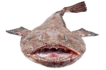흰색 배경에 큰 Monkfish (Lophius piscatorius)