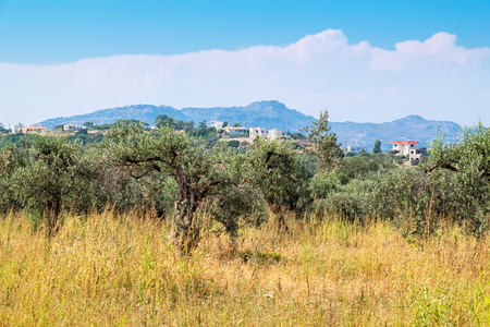 Olive plantation near Kolymbia. Rhodes, Dodecanese Islands, Greece, Europe