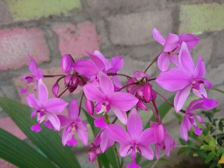 Blooming purple ground orchid flowers or Spathoglottis plicata