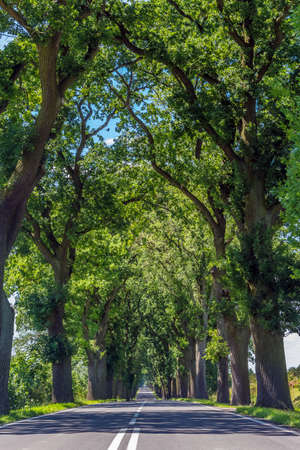 Avenue of oaks. Green tree crowns above the road. Holiday trip.