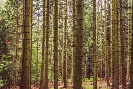 Forest - trunks of spruces without branches. Trees forming vertical lines. A natural landscape of spruce forest. Standard-Bild