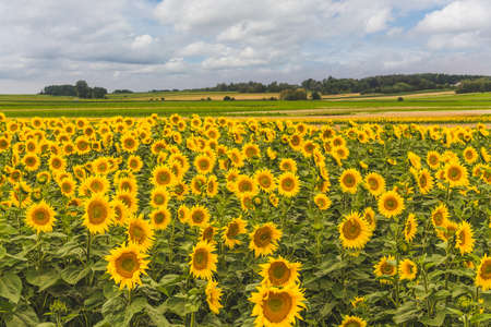 Field of blossomed sunflowers. Rural landscape of farmland with horizon and sky.