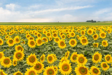 Rural landscape with a field of sunflowers and sky. Wallpaper with blossomed sunflowers. Standard-Bild