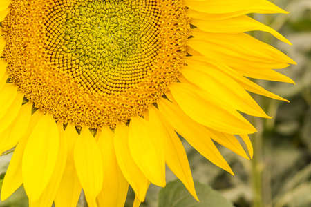 A beautiful, large, blossomed sunflower. Yellow sunflower petals. A natural background associated with the summer.