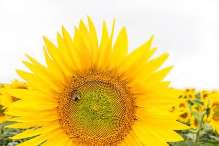 A beautiful big sunflower on a field background. Bee sitting on a sunflower. Yellow sunflower flower. Standard-Bild